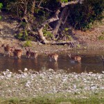 Deer crossing the river by the lodge, Bardia Eco Lodge