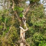 Eagle in the tree, Bardia National Park, Bardia