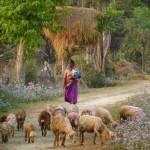 Old lady with sheep, Thakudwara