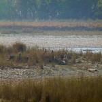 Troop of monkeys, Bardia National Park, Bardia