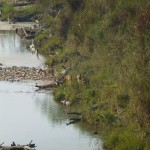 potted deer crossing the river, Bardia National Park, Bardia